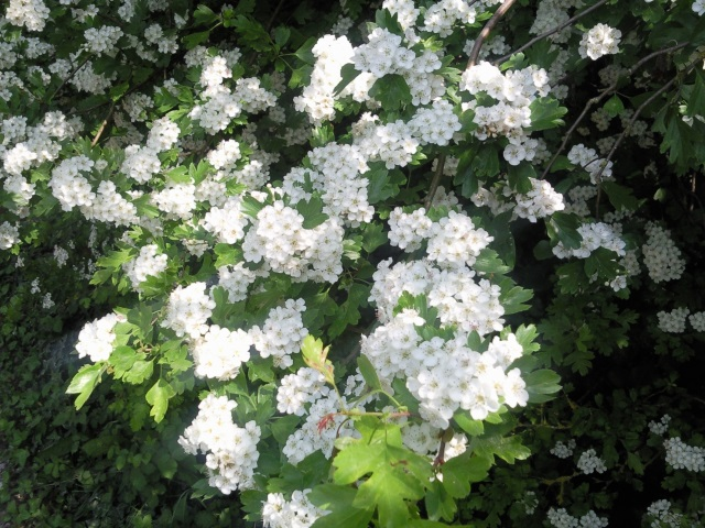 A bank of flowering hawthorn