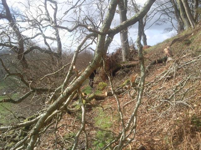 Fallen branches at Plas talgarth