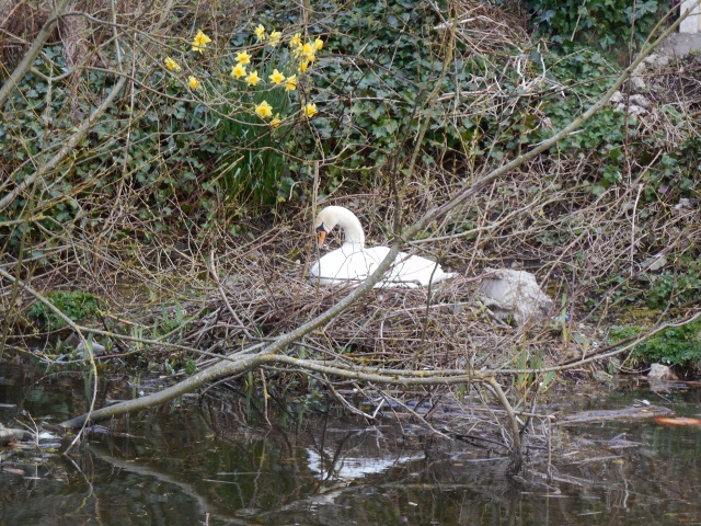 A swan on her nest