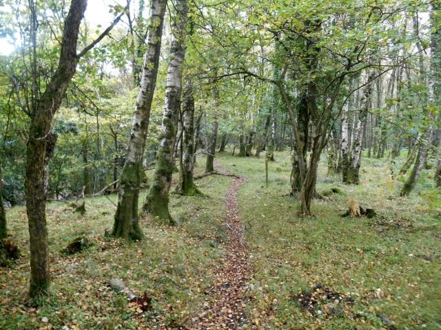 Path through birch woodland