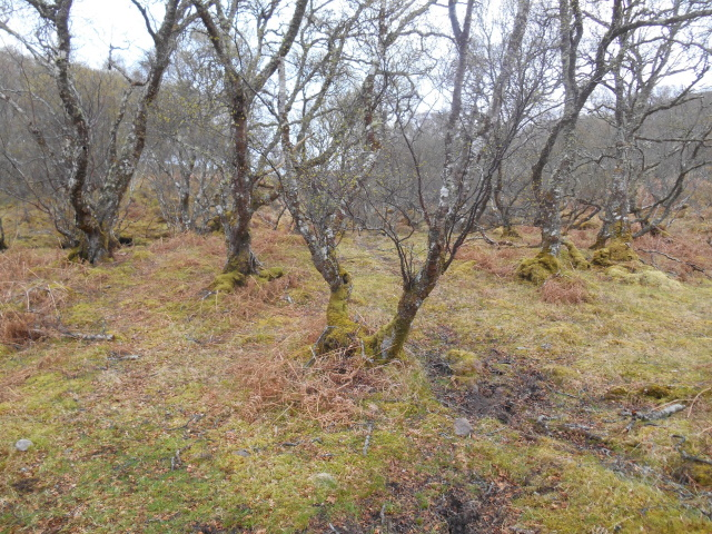 The wood by Loch an Draing