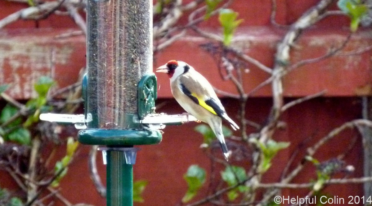 Goldfinches Feeding In My Garden