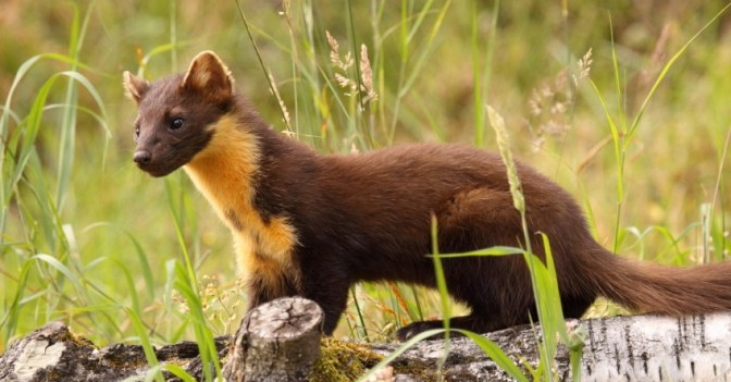 Pine Marten Are Saving The Red Squirrel