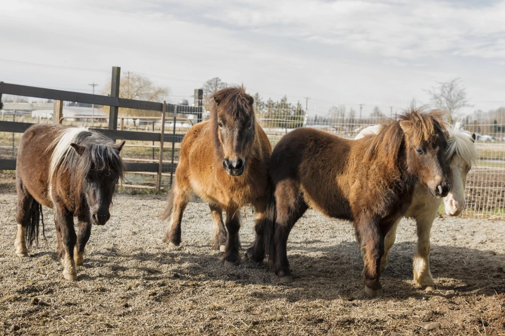 Four rescued mini horses at HOME ready for adoption.
