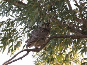owl-in-tree