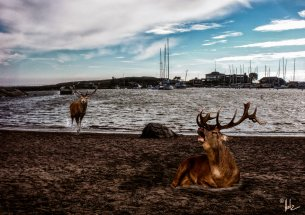 Helsinki Secrets revealed: Deer at Uunisaari