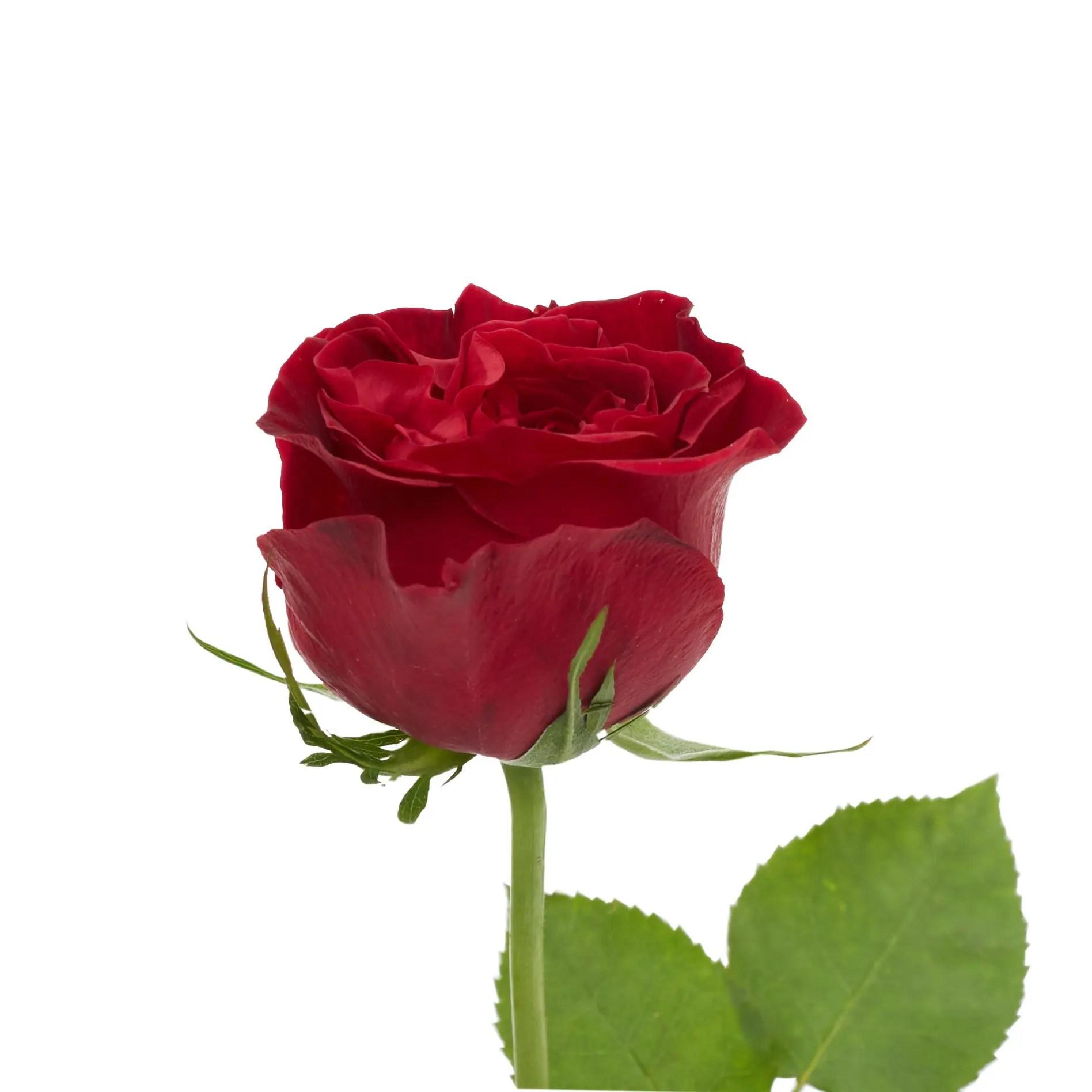 David Austin Roses0515
