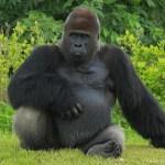 Des gorilles en danger au Parc national de Kahuzi-Biega, dans le Sud-Kivu © Youtube