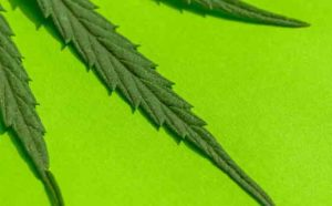 German company fights for decree on import of hemp leaves