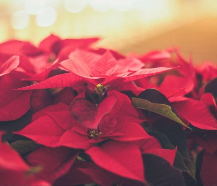 Julstjärna – Skötsel av den populära julblomman