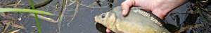 Karper-vissen