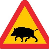Varning för vildsvin!