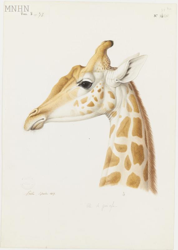 Girafe_N.Huet