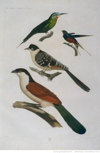 Oiseaux, dessin Henri-Joseph Redouté et Barraband, gravure Bouquet. In Description de l'Egypte, Histoire naturelle, Tome I, 1809.