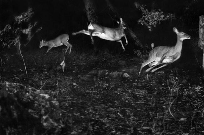 Trois cerfs de Virginie s'enfuient au déclenchement du flash de l'appareil. George Shiras pensait que cette photographie révélait bien l'agilité de ces animaux. Photographie George Shiras.