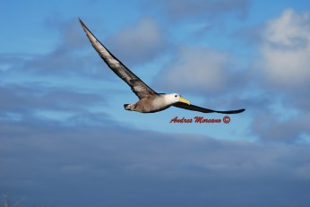 Nazco Boobie in flight