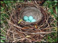 chipping_sparrow_eggs_in_nest
