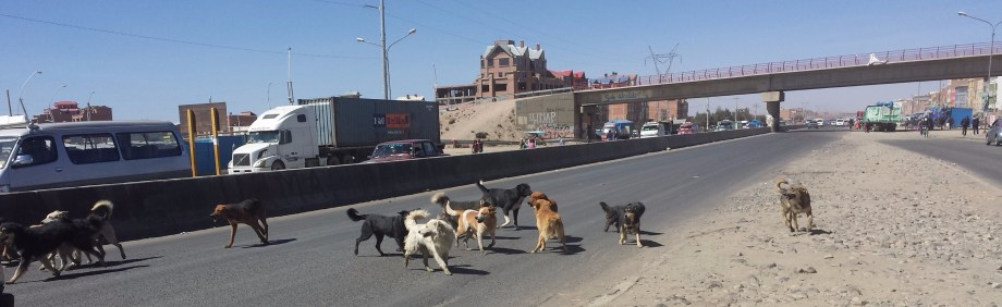 Dog Posse in Los Altos, Bolivia