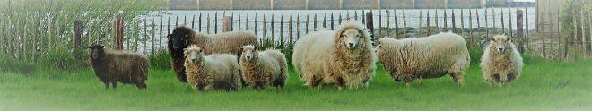Schafe im Pelz in Zoutkamp