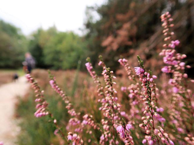 Heidekraut in pink