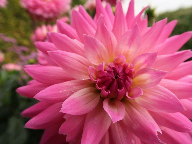 Dahlie in pink-rosa