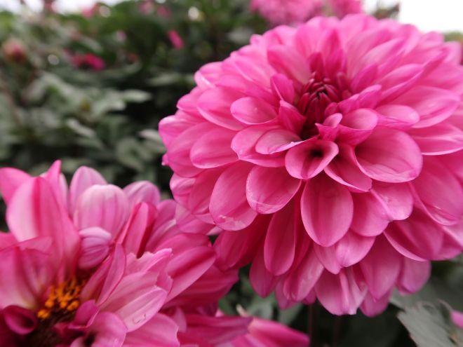 Pompon Dahlien in pink