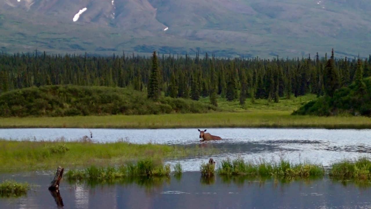Vrouwtjes eland aan het snacken in het meer
