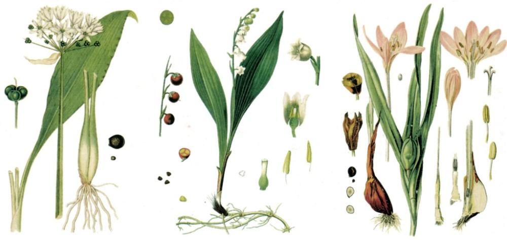 Verwechslung Bärlauch, Maiglöckchen und Herbstzeitlose