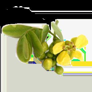 Alexandria Senna Plant