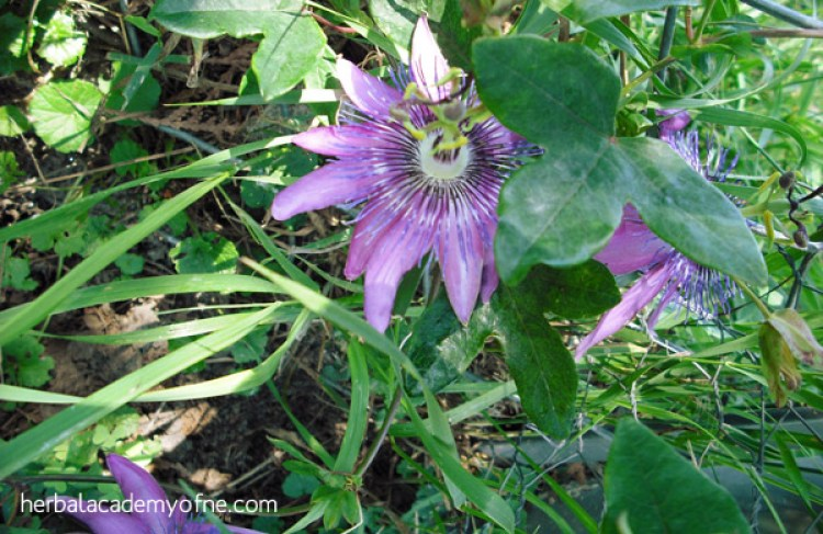 passion flower - herbs for treating anxiety