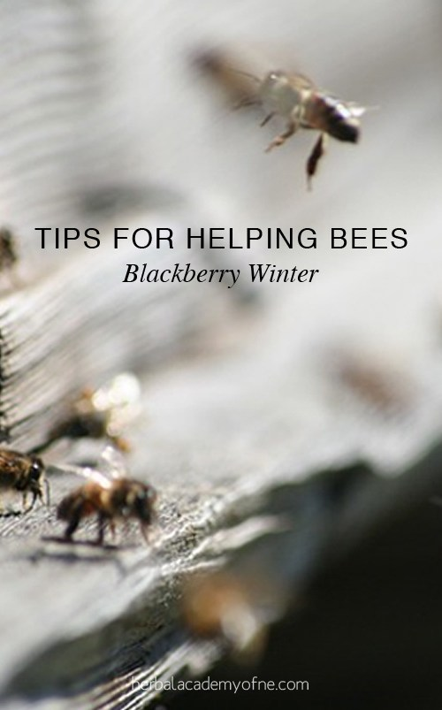 Blackberry Winter - Tips For Helping Bees | Herbal Academy | A sudden cold snap (blackberry winter) can damage flowering herbs and plants. Here are tips to ensure a continuous nectar flow for the garden and honeybees.