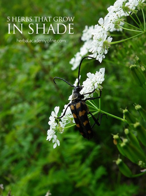 5 Herbs that grow in SHADE