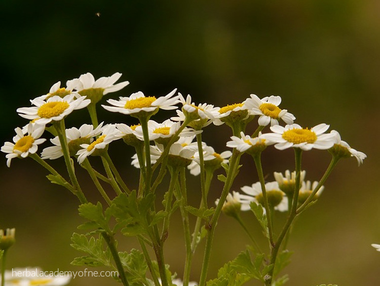 Herbal Remedies for Headaches -Feverfew