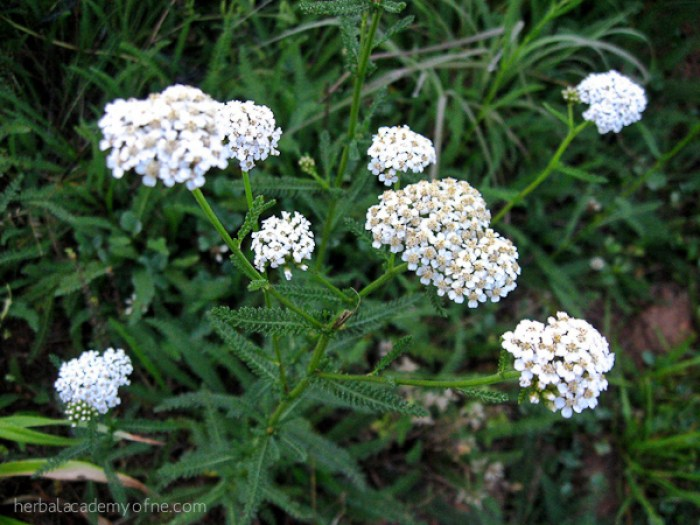 Fresh Yarrow - Herbal Academy of New England