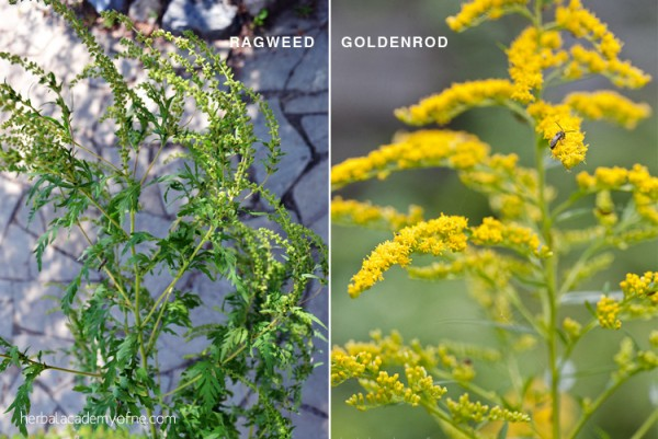 Goldenrod vs. Ragweed Identification - Herbal Academy blog