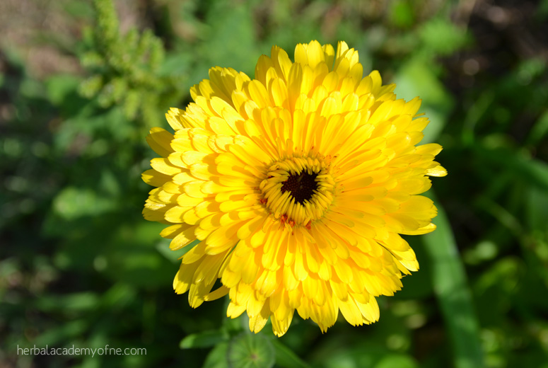 Calendula Elixer for Cold and Flu Season - Herbal Academy of New England
