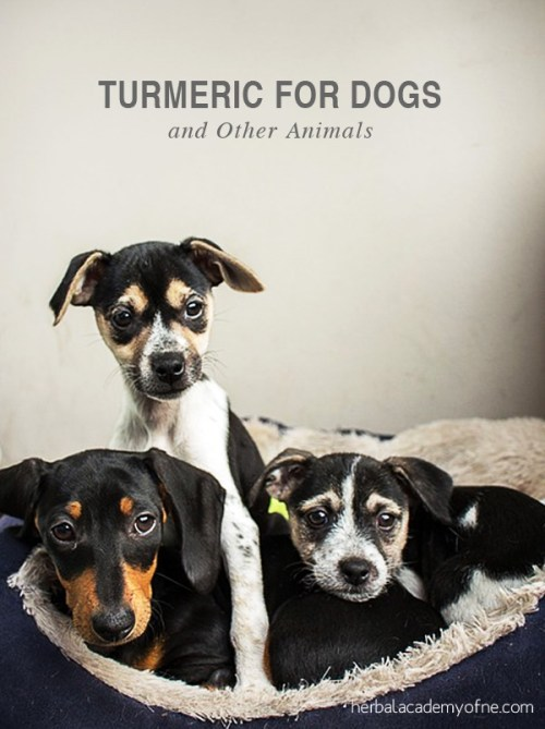 Turmeric for Dogs and Other Animals