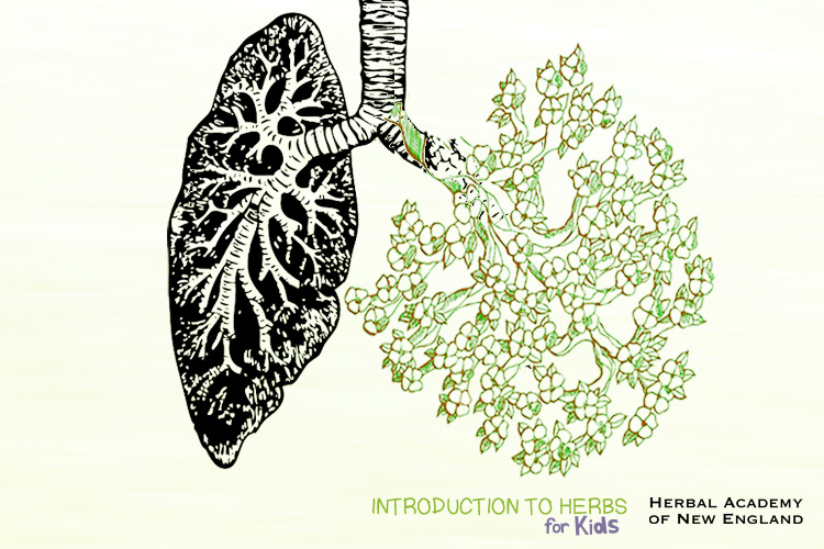 Tree and Lung Diagram - Introduction to Herbs for Kids Series