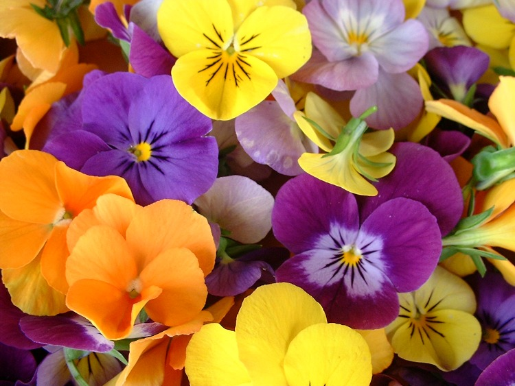 How to use violas for familly health