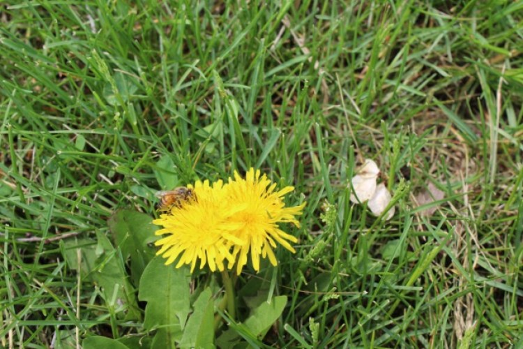 The Grass Isn't Greener: Inviting Bees Into Your Yard - Bee Queen