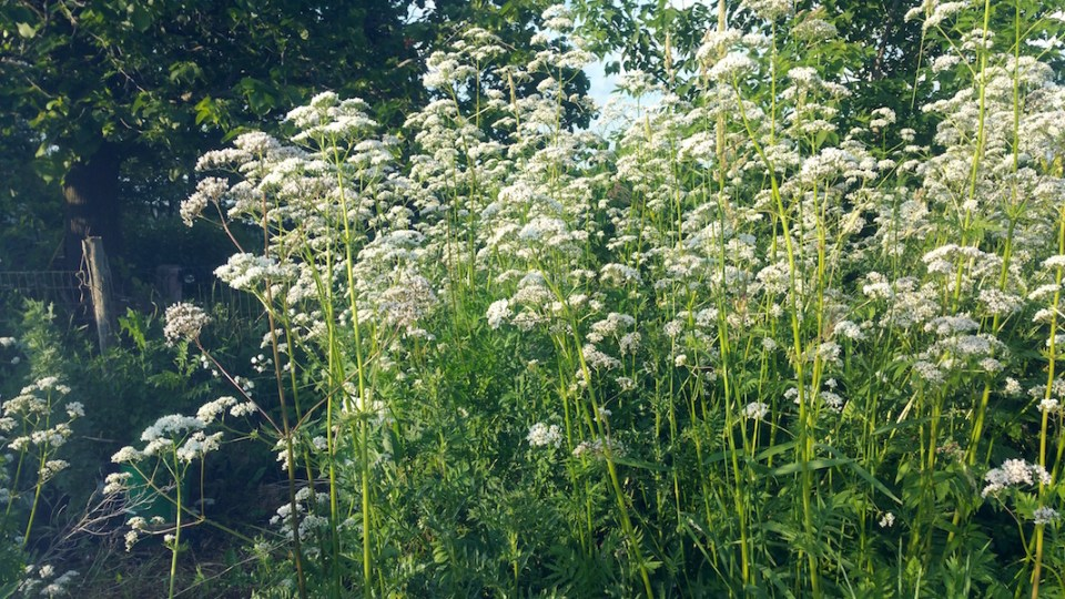 Getting to Know the Valerian Plant