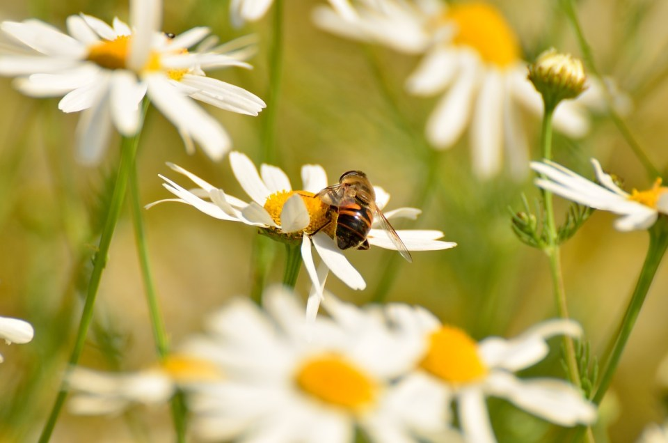 The Chamomile Plant - from Using to Harvesting