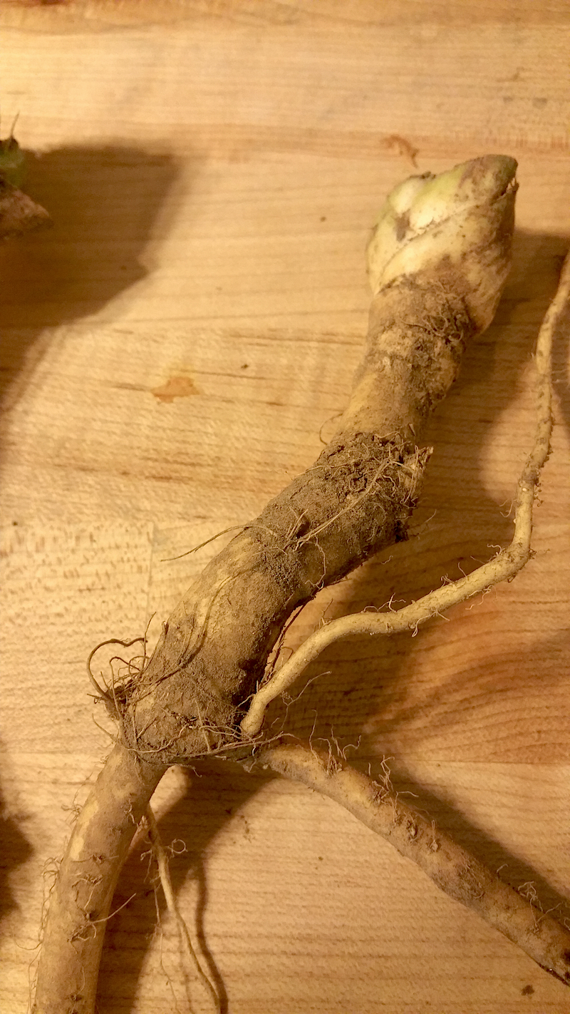 Learn how to Harvest and Process The Horseradish Plant: one of our favorites for fall.