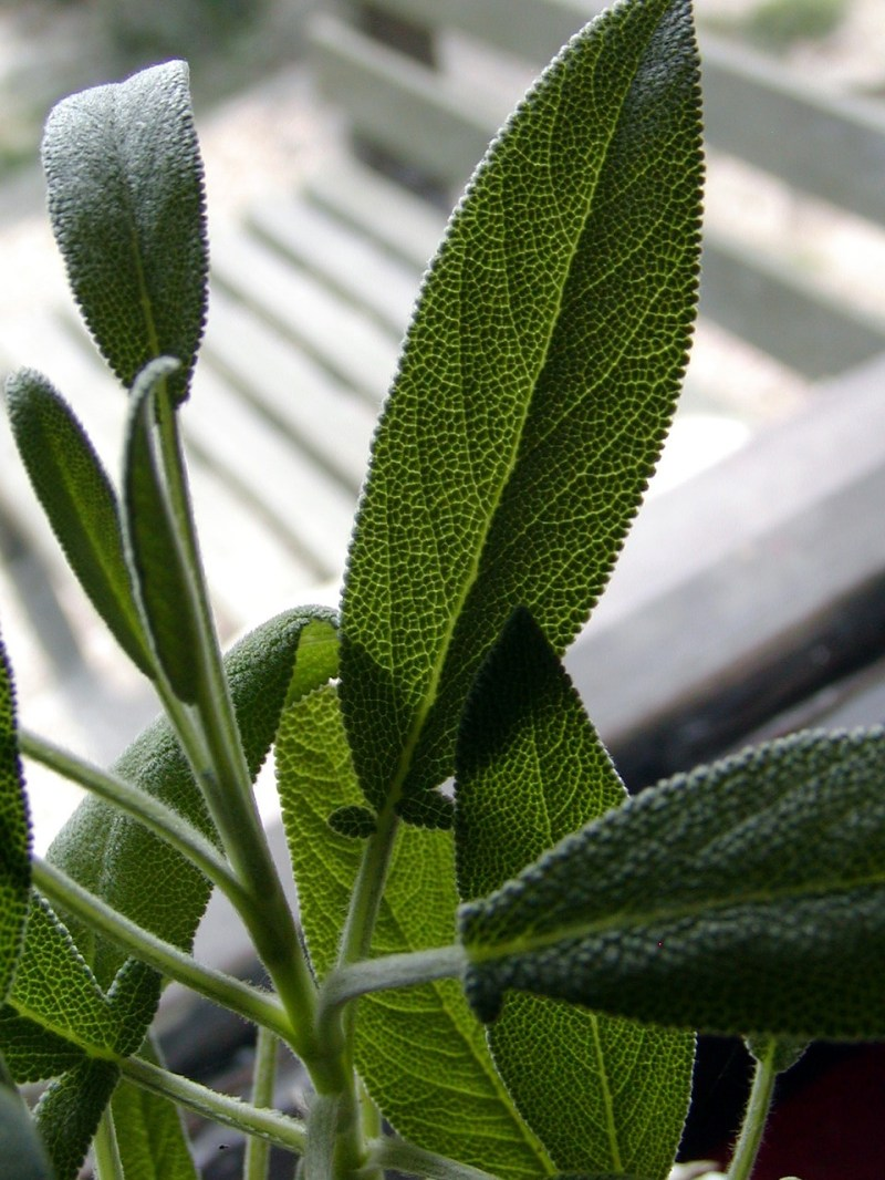 Sage Herb – Health Benefits of Popular Autumn Spices