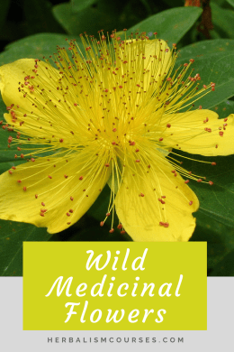These wild medicinal plants commonly found in many areas are important to know for their herbal medicine benefits. Each have multiple uses in herbalism. #WildMedicinalPlants #MedicinalFlowers #StJohnsWort #StJohnsWortBenefits #Herbalism #HerbalMedicine #HerbalismCourses #OnlineHerbalCourse