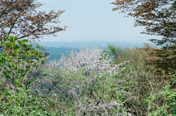 Wild cherry blossoms at the top of Mt Hinode