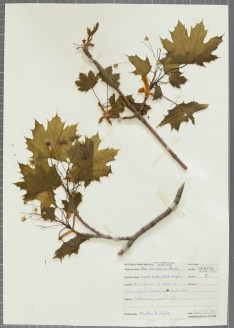 Acer Saccharum; Sugar Maple. From Herbarium Specimens of Harper's Ferry. Open Parks Network.