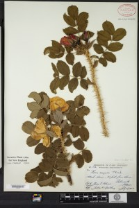 This image belongs to the Digital Collection of the Harvard University Herbaria (http://huh.harvard.edu/pages/digital-collections-0) Appropriate permissions are required for commercial use of the images (http://huh.harvard.edu/pages/permission-publish-images) and will incur a publication fee. Publication fees, if applicable, are separate from reproduction fees.