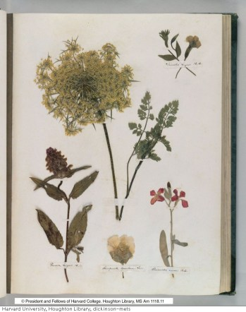 Emily Dickinson's herbarium c. 1836-1849 (MS Am 1118.11, Houghton Library © President and Fellows of Harvard College.)