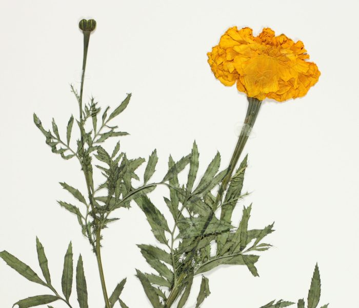 A Marigold of Mother